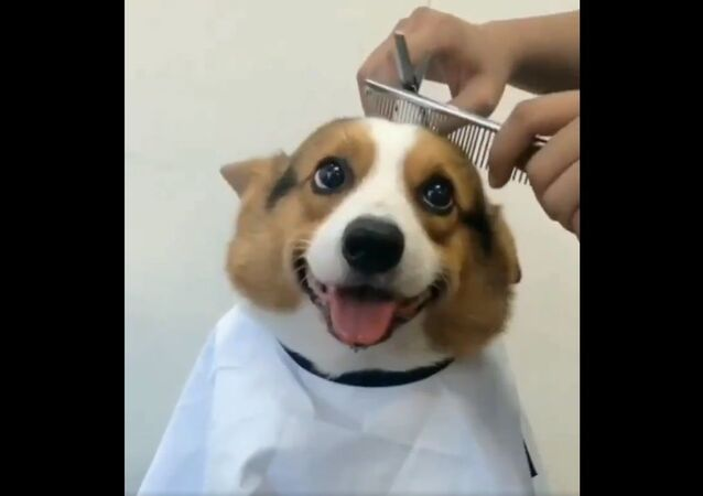 Just a good boy getting a haircut