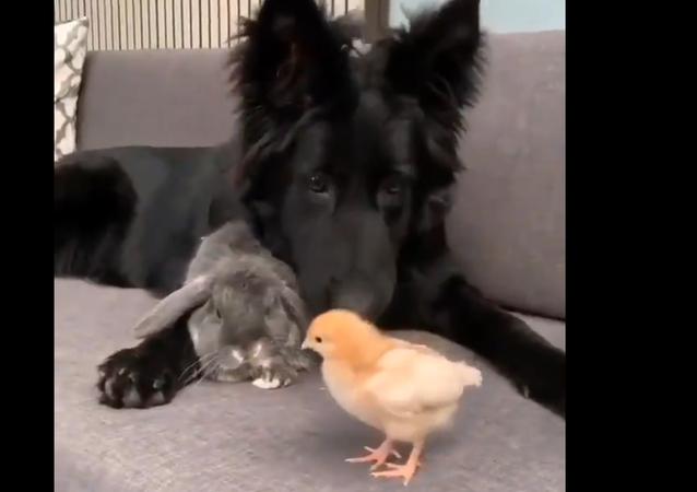 Dog, rabbit, and chicken