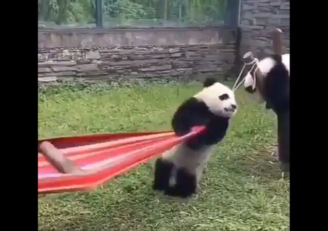If you're having a bad day, here's a panda trying to get in a hammock