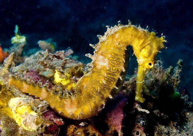 Spiny seahorse Hippocampus histrix