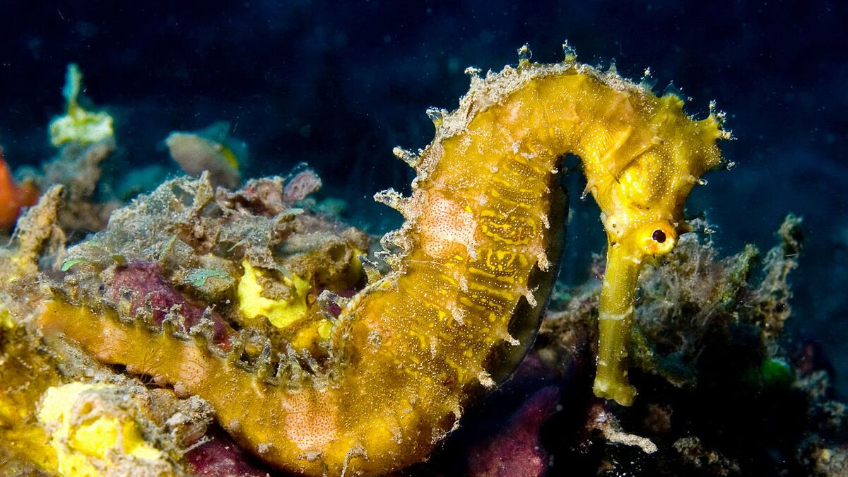 Sneezing Babies From Stomach That Is What Seahorse Giving Birth Looks Like Video Sputnik International