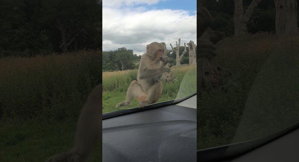 Monkeys Aren't Fond of Car's Windshield Wash Jets