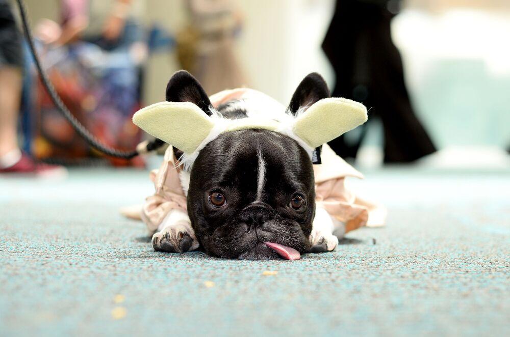 French Bulldog at Comic-Con in San Diego, 2016.