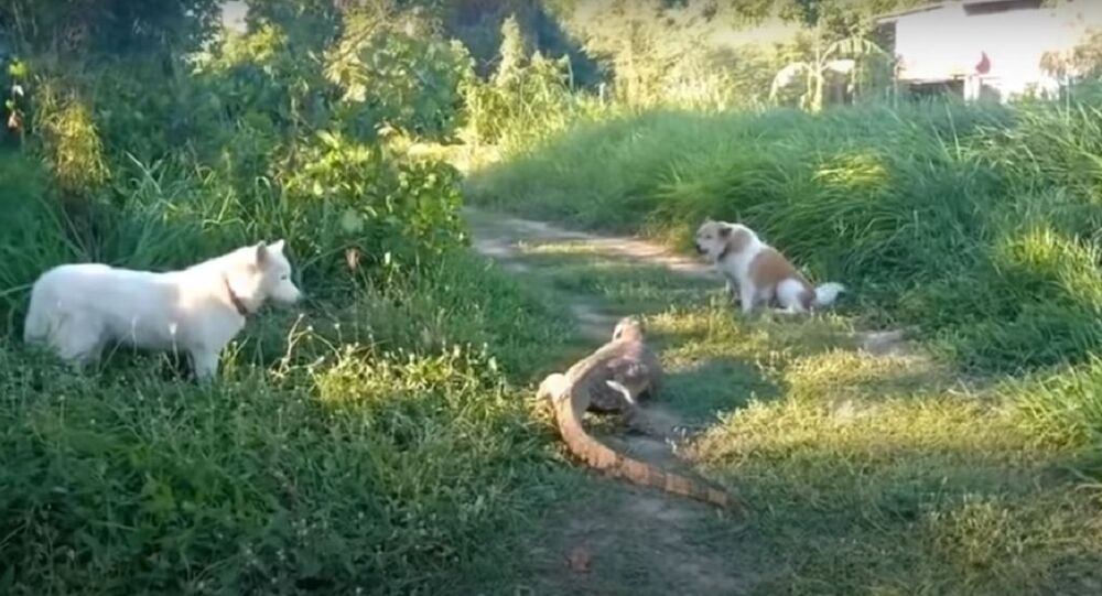 Lizard Defends Itself From Dogs
