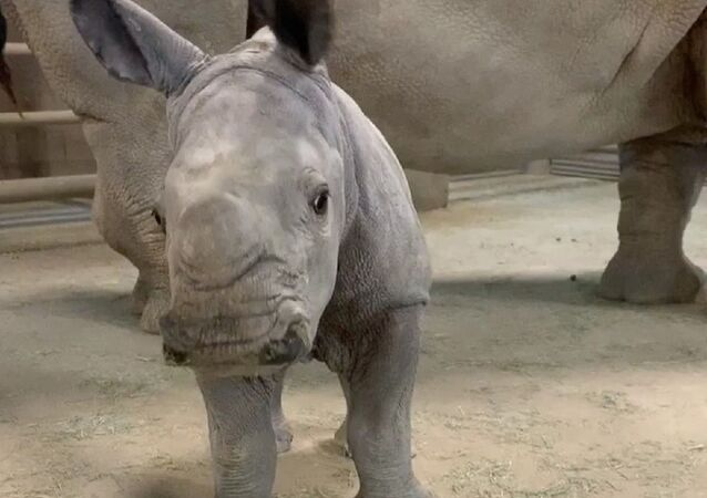 Baby rhino loves a good brushing