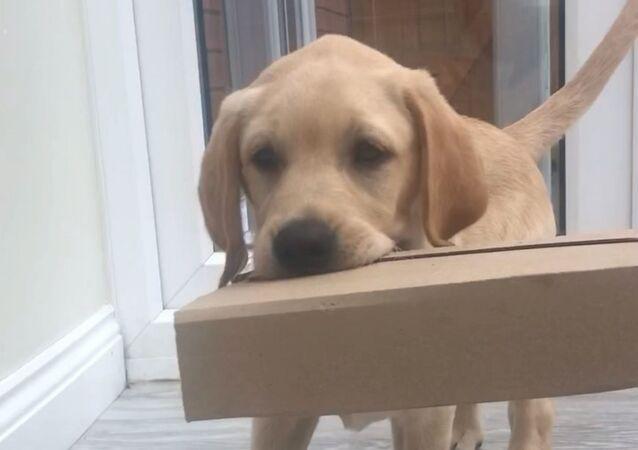 Labrador Retriever Pup Helps Fetching Parcel