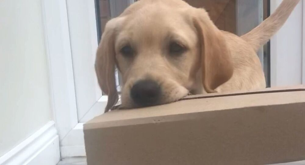 Labrador Retriever Pup Helps Fetching Parcel