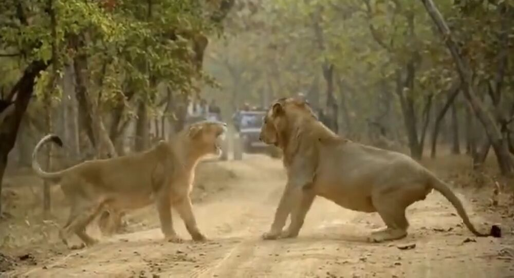 Couple fight between lions caught on camera