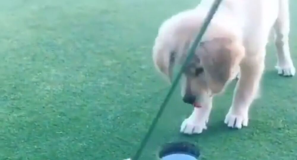 'Hole in One!': Golden Retriever Pup Plays Golf