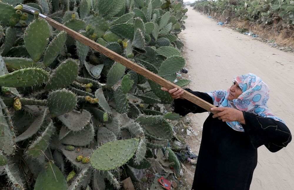 A Palestinian woman picks up prickly pears in the southern Gaza Strip 29 July 2020.