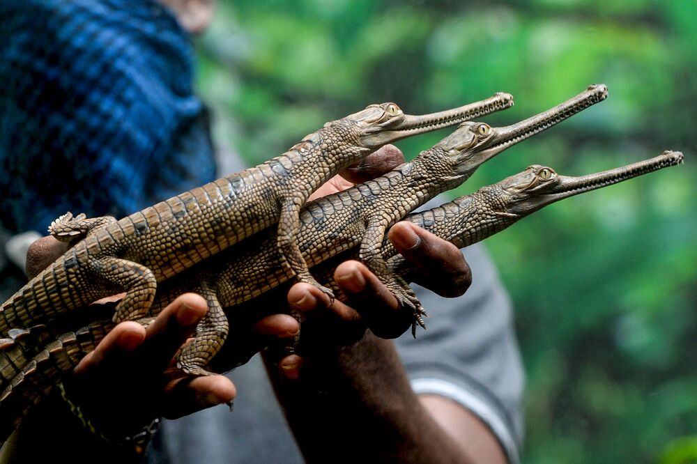 A worker holds Gharials or fish-eating crocodiles, newly hatched in captivity at Chennai Snake park in Chennai on 24 July 2020.