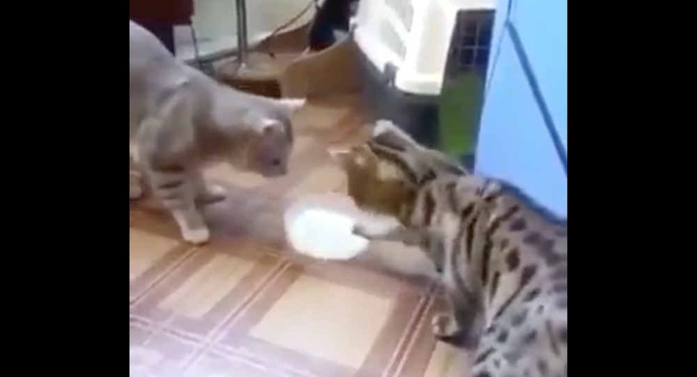 Two cats passing milk bowl to each other