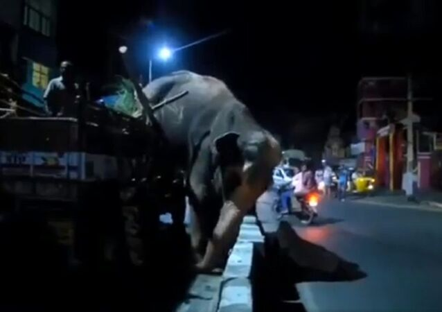 The elephant did not want to go, it jumped out of the truck, and the torture PETA did to take her away