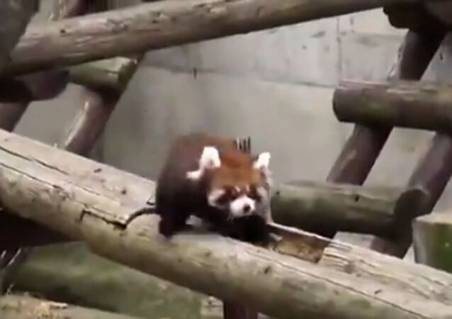 Cute Red Pandas Complete Obstacle Course