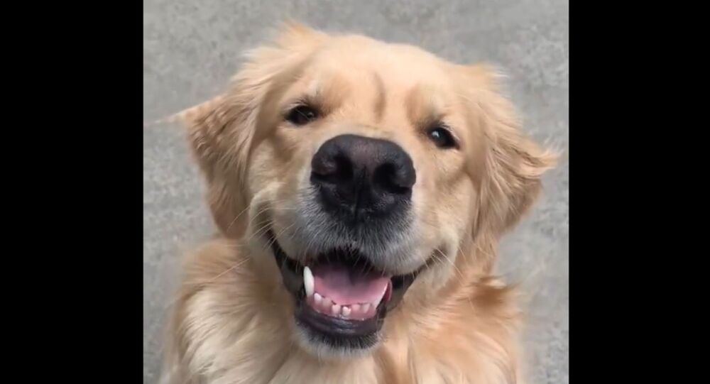 Happy Golden Retriever Loving Life