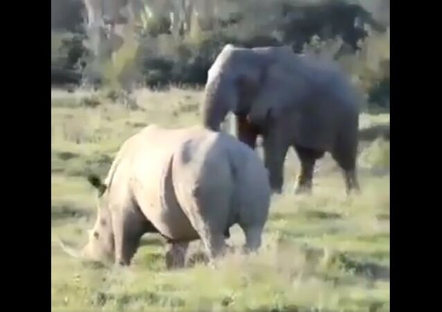 Elephant using a branch to confuse and ward off a rhino..