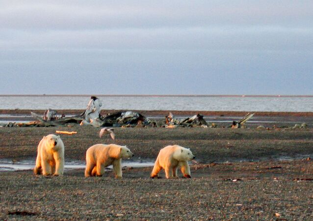 FILE PHOTO: Three polar bears are seen on the Beaufort Sea coast within the 1002 Area of the Arctic National Wildlife Refuge in this undated handout photo provided by the U.S. Fish and Wildlife Service Alaska Image Library on December 21, 2005. U.S. Fish and Wildlife Service Alaska Image Library/Handout via REUTERS  ATTENTION EDITORS - THIS IMAGE WAS PROVIDED BY A THIRD PARTY. EDITORIAL USE ONLY/File Photo