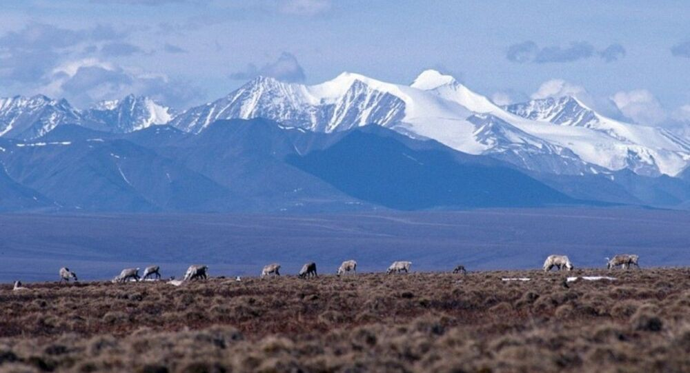 Caribou graze on the coastal plain of the Arctic National Wildlife Refuge, with the Brooks Range as a backdrop.