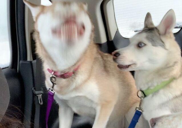 Husky sneezing