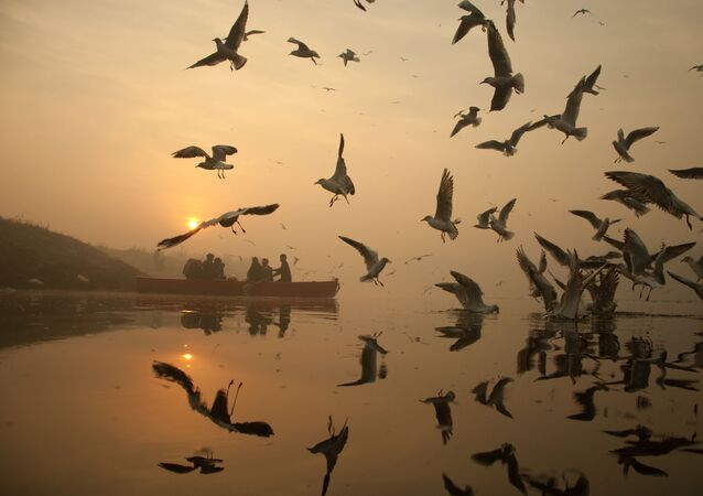 Seagulls Celebrating Wintry Mornings in Delhi on Yamuna Banks