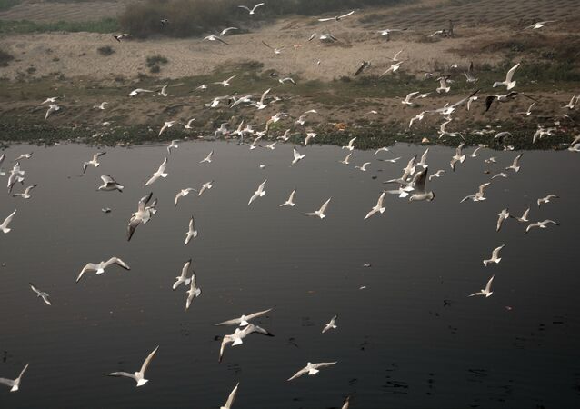 When Seagulls Take a Flight Over Polluted Water of Yamuna