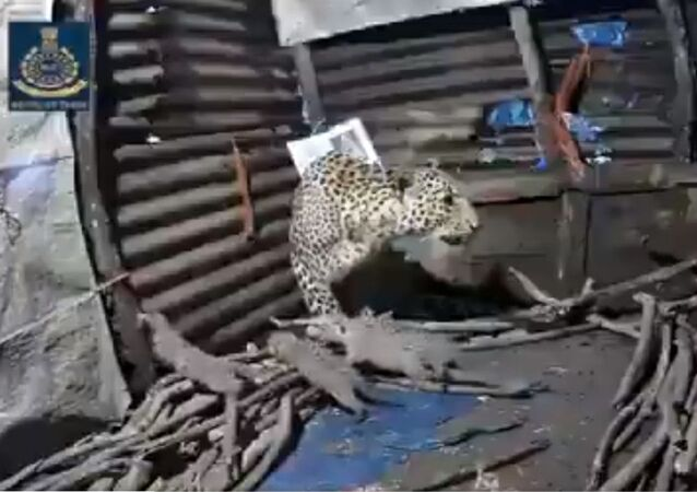 Female leopard gives birth to 4 cubs inside a hut in Nashik, Maharashtra