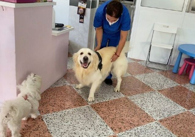 How the Golden Retriever Reacts to a Visit to the Vet
