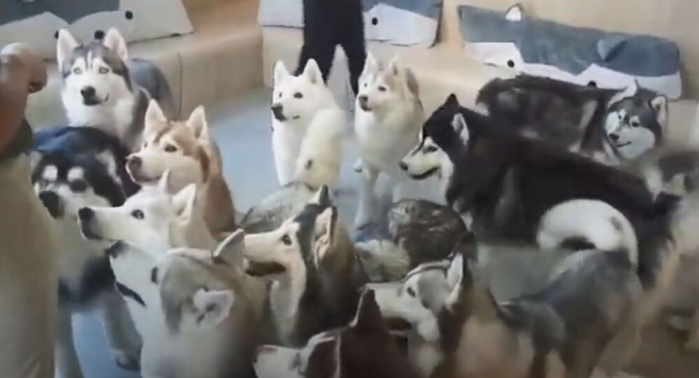 Husky Heaven: Furballs Have Fun at Dog Cafe