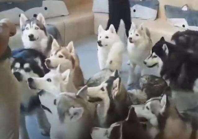Husky Heaven: Furballs Have Fun at Dog Cafe