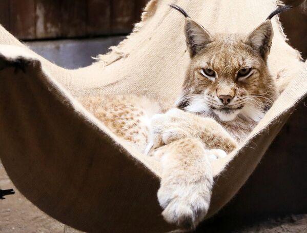 A male Siberian lynx called Buran lies in a hammock at the Royev Ruchei park in Krasnoyarsk. - Sputnik International