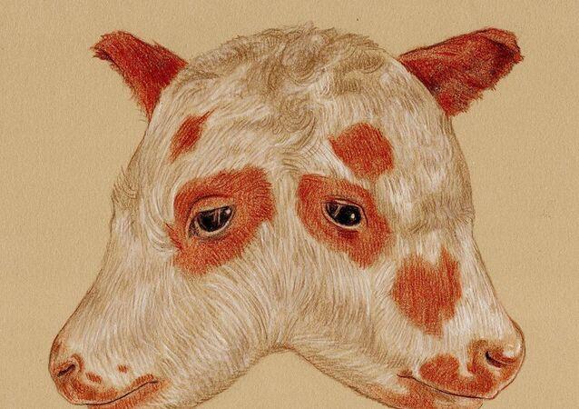 two-headed calf