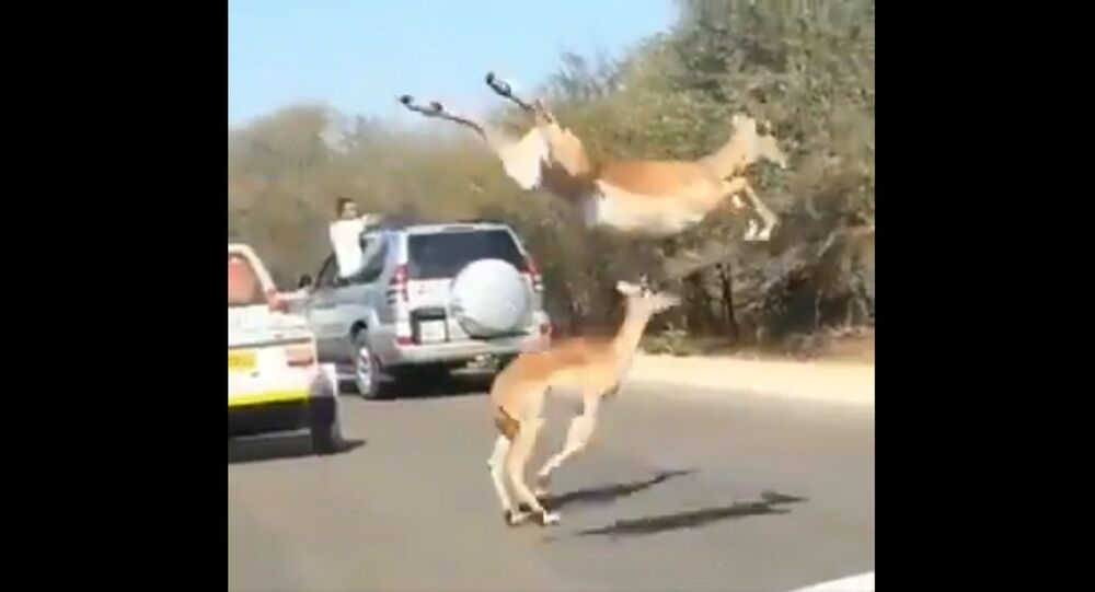 Look what comes to the aid of the impalas at the end, while escaping from the claws of the cheetahs