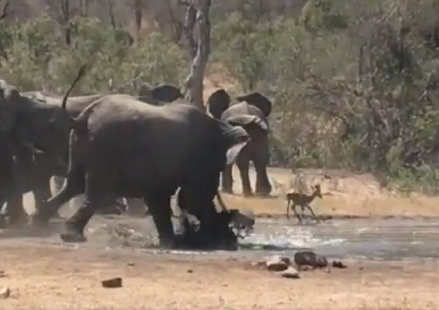 But that doesn't stop the elephant from rescuing an Impala caught in a waterhole