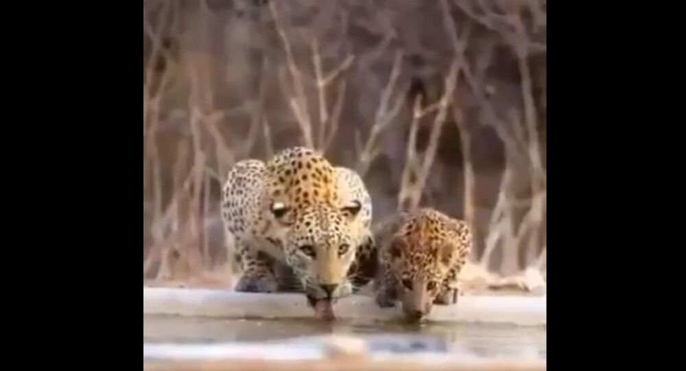 Mamma leopard with cubs..