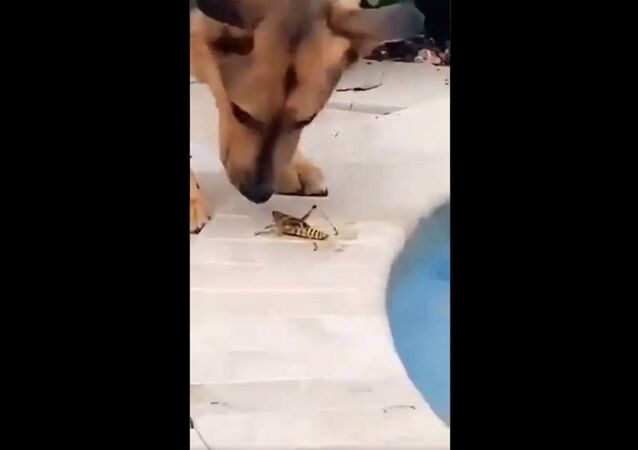 Grasshopper saved from drowning