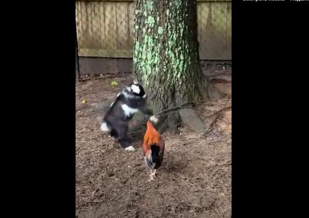 Battle Between Baby Goat and Rooster