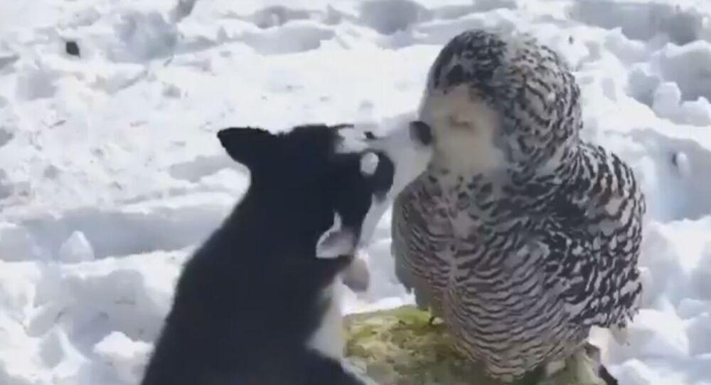 Strange Love: Husky, Owl Friends Enjoy Snow