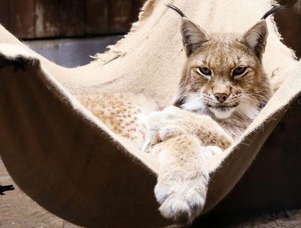 A male Siberian lynx called Buran rests in a hammock at the Royev Ruchei park in Krasnoyarsk, Siberia.