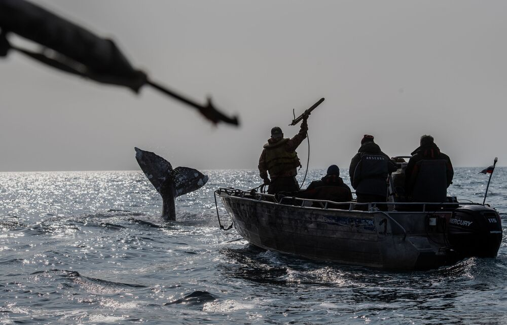 Whalers are hunting in the Bering Strait