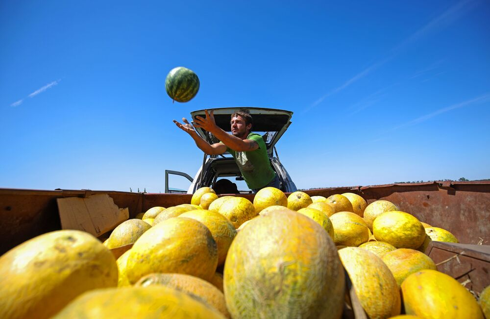 Man collects melons and watermelons in Krasnodar region
