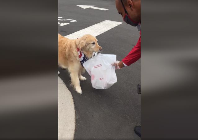 Best Service Ever! Adorable Golden Retriever Picks Up Owner's Food Order