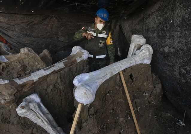 Mexican Army Captain and Engineer Jose de Jesus Cantoral Herrera shows a mammoth skeleton discovered during the construction of Mexico City's new airport at Santa Lucia military base in Mexico, Thursday, Sept. 3, 2020. Paleontologists are digging up and preserving the skeletons of mammoths, camels, horses, and bison as machinery and workers are busy with the construction of the Felipe Angeles International Airport by order of President Andres Manuel Lopez Obrador. (AP Photo/Marco Ugarte)