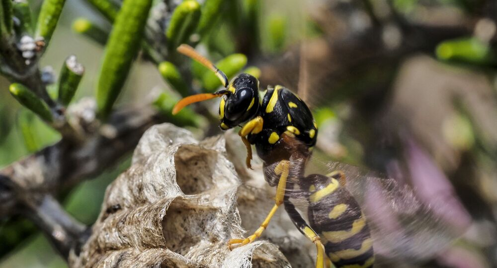 A paper wasp builds a honeycomb shaped paper nest, made from wood fibers gathered and chewed by the insect into a paste-like pulp which it uses with it's saliva to build up the cells into a structure that can have as many as 200 cells, on April 24, 2020 in Montlouis-sur-Loire, Center France.