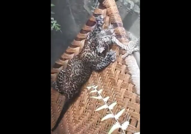 A leopard being rescued from a pit in India