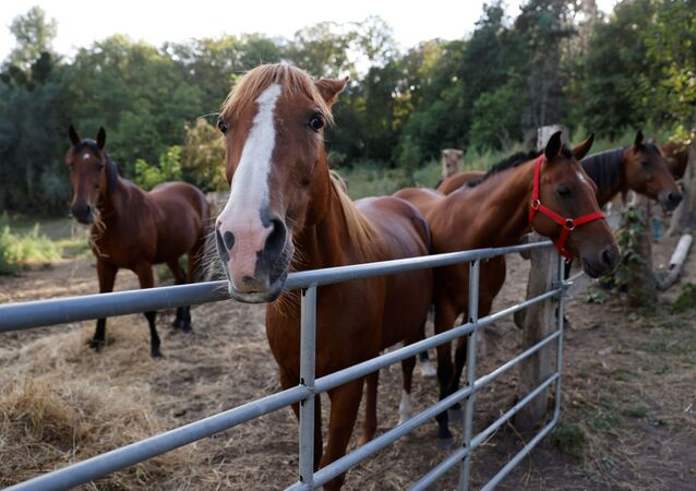 Horses stand in an enclosure at the location of a meeting between local authorities, elected officials and horse breeders whose animals have been victims of mutilation attacks in Plailly, northern France, on September 7, 2020. - French police on September 7 said they had arrested a man on suspicion of mutilating horses, after a string of attacks that have shocked the country. French authorities have been at a loss to explain the attacks, which according to the gendarmerie have seen the ears cut off some 20 horses nationwide, as well as genital mutilations and other cuts.