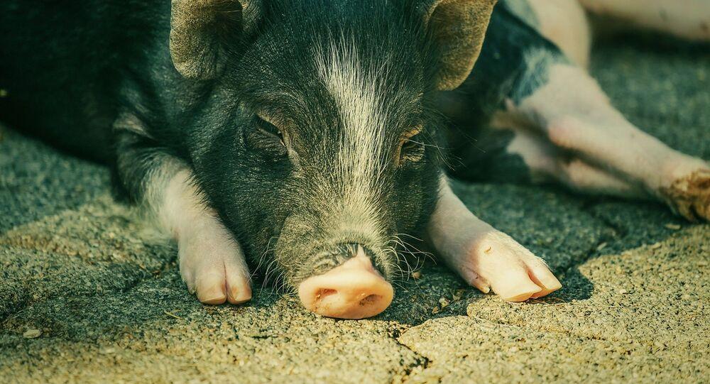 Miniature pig