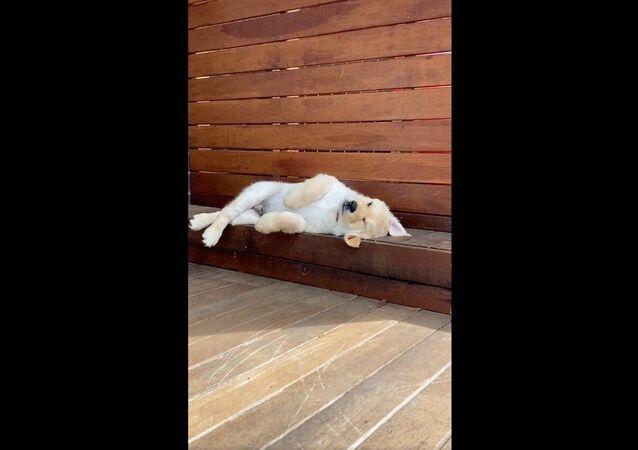 Golden Retriever Pup Struggles to Get Comfy