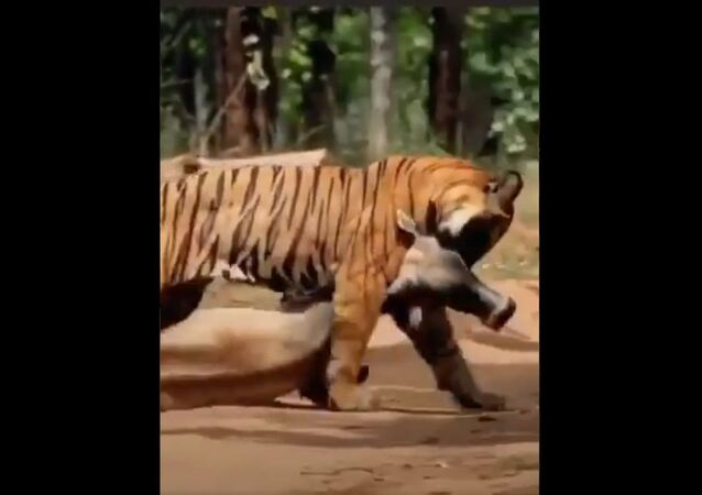 The strength of the tiger is awe inspiring. It drags a cow through the  sheer power of its mouth