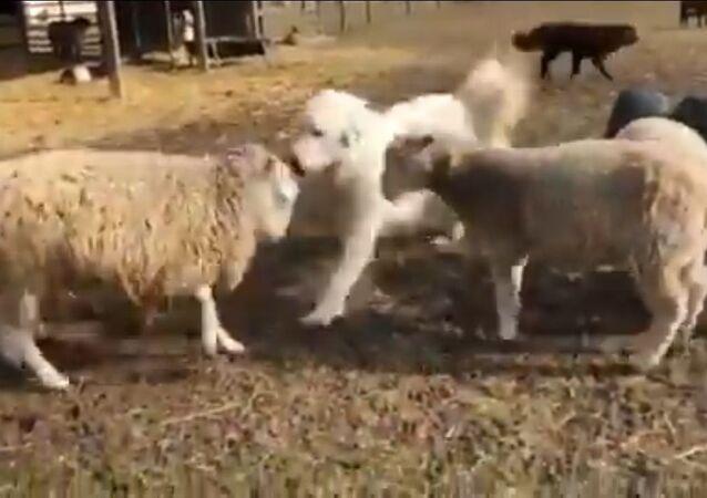 Good Bois Make Peace: Doggo Break Up Fight Between Sheeps