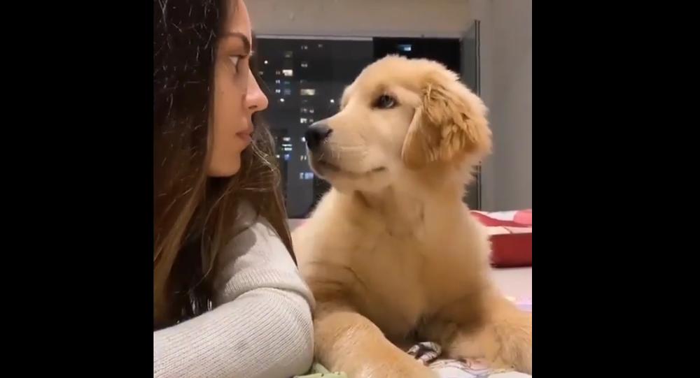 Golden Retriever pup staring